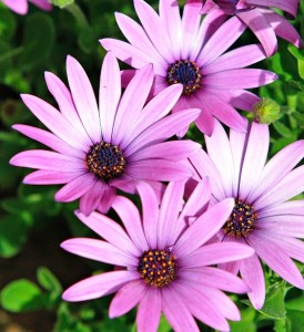 african daisy for blog